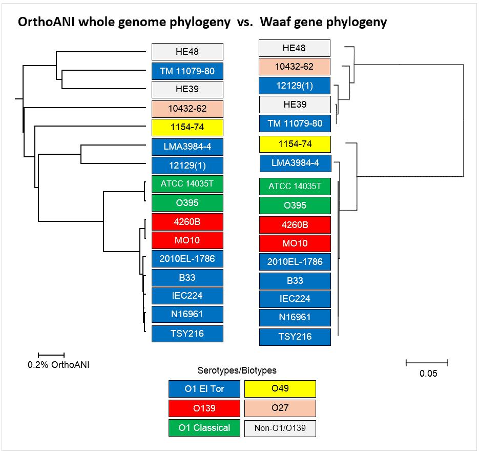 gene phylogeny3.PNG